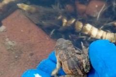 ratujemy żaby (8)